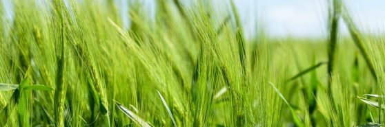 cropped-barley-872000_960_720.jpg